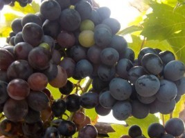 Haiti - Social : 3rd Edition of the Festival of the Grape of Chardonnières
