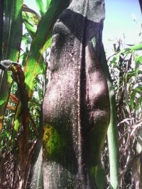 iciHaiti - Petit-Goâve : A strange disease ravaging the plantations of millet