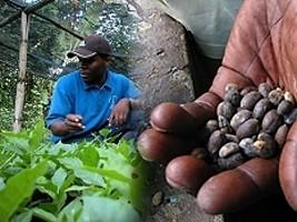 iciHaïti - Agriculture : 46$ millions pour la relance de la filière café