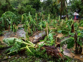 Haiti - Agriculture : The scale of the disaster accurate in the Great South