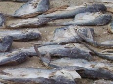Haiti - Environment : Dozens of fish died mysteriously in the Lake Azuei