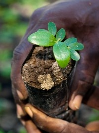 iciHaiti - Environment : Launch of a reforestation campaign in the Grand'Anse