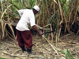iciHaïti - RD : Retour volontaire de coupeurs de canne haïtiens