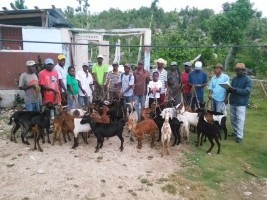 Haiti - Agriculture : Goat recovery in the South only 30% of the promises made