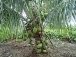 iciHaïti - Brésil : Évaluation pour l'introduction en Haïti de la variété de cocotier «Nain Vert»