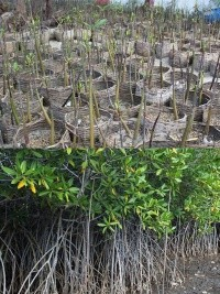 iciHaiti - Environment : Restoration of wooded areas and mangroves