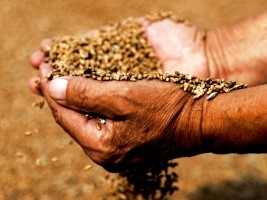 iciHaiti - Agriculture : Distribution of agricultural inputs to revive the sector