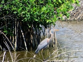 iciHaiti - Environment : The restoration of the mangroves of Cahouane a success