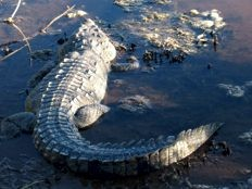 Haiti - Social : Crocodiles in the flooded areas of Thomazeau
