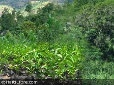 Haiti - Environment : A socially responsible reforestation project