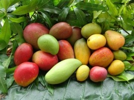 Haiti - Agriculture : Haiti inspired by the Mexican producers and exporters of mangoes