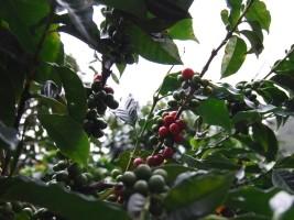 Haïti - Agriculture : Transplantation de 1.5 millions de plantules caféières...