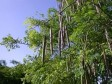 Haiti - Agriculture : The Moringa a national and international market for small farmers