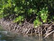 Haiti - Environment : Extremely worrying situation of mangroves
