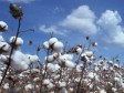 Haiti - Agriculture : Study on the reintroduction of cotton as an export crop