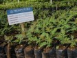 Haiti - Environment : Launch of transplantation of one million seedlings of trees