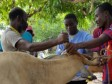 Haiti - Agriculture : Thousands of animals treated in Haiti after Hurricane Irma