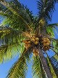 Haiti - Agriculture : Tripartite cooperation in the coconut sector