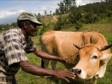 Haiti - Agriculture : One year after Matthew, livestock regaining strength in Great South