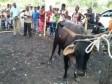 iciHaïti - Trou-du-Nord : Premier concours de bétail en Haïti