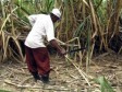 iciHaiti - DR : Illegal deportations of 18 cane cutters