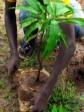 iciHaiti - Petit-Goâve : Reforestation, the Mormons alongside the DINEPA