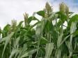 iciHaïti - Agriculture : Perspectives des récoltes 2019-2010 des céréales de base