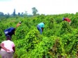 Haiti - Agriculture : Success of the 1st Phase of the «Resilient Productive Territories» Project