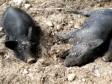 iciHaïti - Agriculture : Peste porcine africaine, des experts sur le terrain