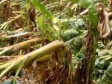 Haiti - Agriculture : The agricultural sector severely affected