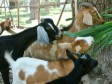Haiti - Agriculture : Distribution of young goats to small farmers