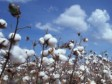 Haiti - Agriculture : South-South Agreement of $20 million for the cotton sector