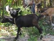 Haiti - Agriculture : Project of distribution of 10,000 goats