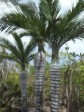 Haiti - Environment : 42% of palms, are threatened on the island
